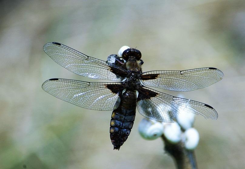 LIBELLULIDAE Libellula depressa 3 (libellule déprimée mâle).JPG