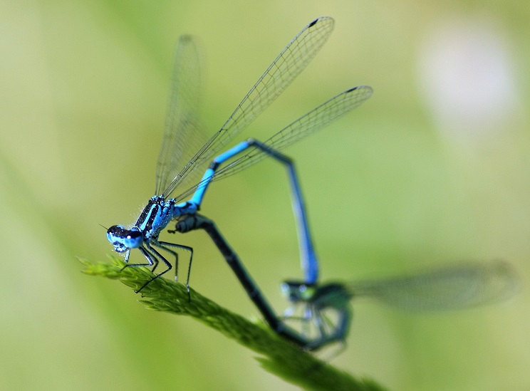 COENAGRIONIDAE Coenagrion puella 4 (agrion jouvencelle couple).JPG