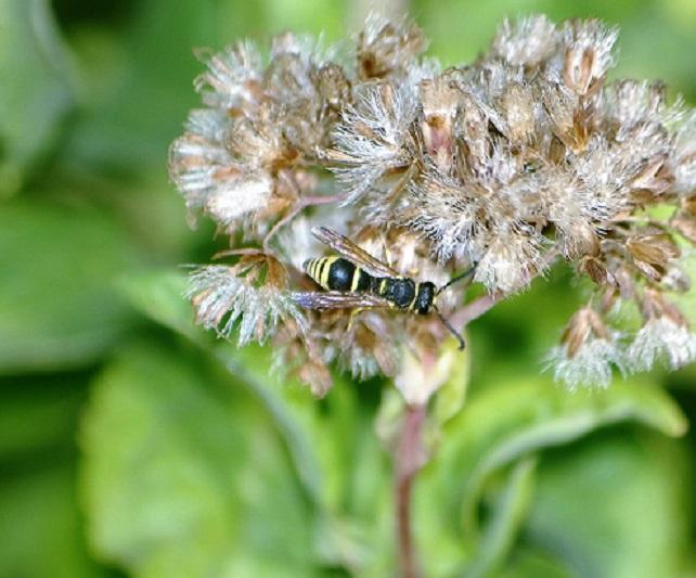 VESPIDAE Allodynerus delphinalis 2.JPG