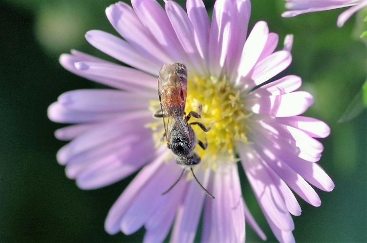 HALICTIDAE Lasioglossum calceatum 1.JPG