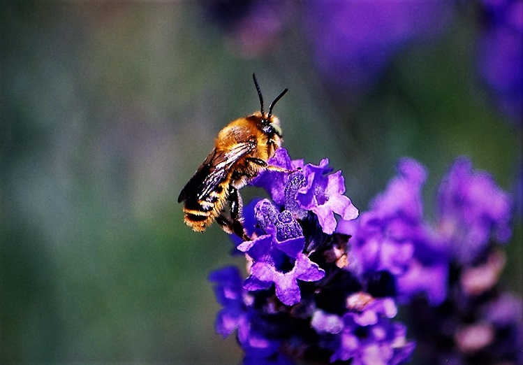 MEGACHILIDAE Megachile circumcincta.JPG