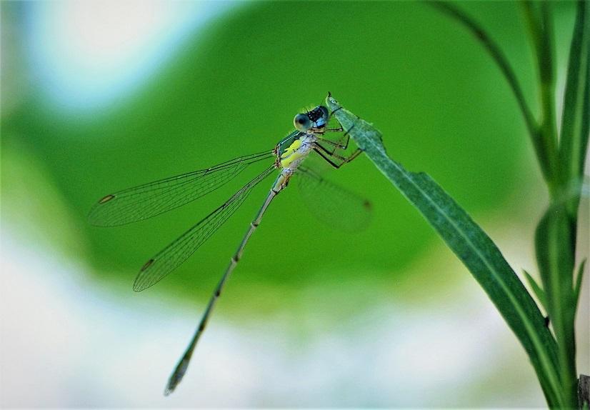 LESTIDAE Chalcolestes viridis 8 (leste vert).JPG