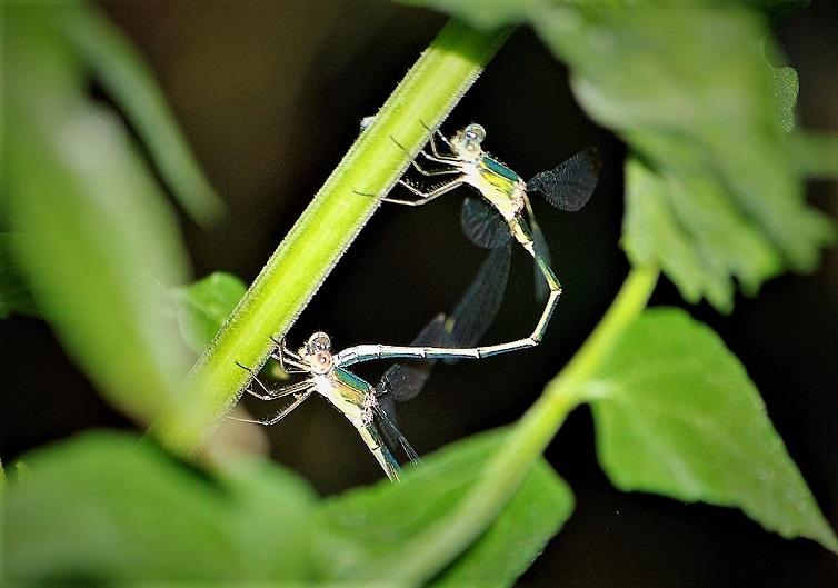 LESTIDAE Chalcolestes viridis 7 (leste vert couple).JPG