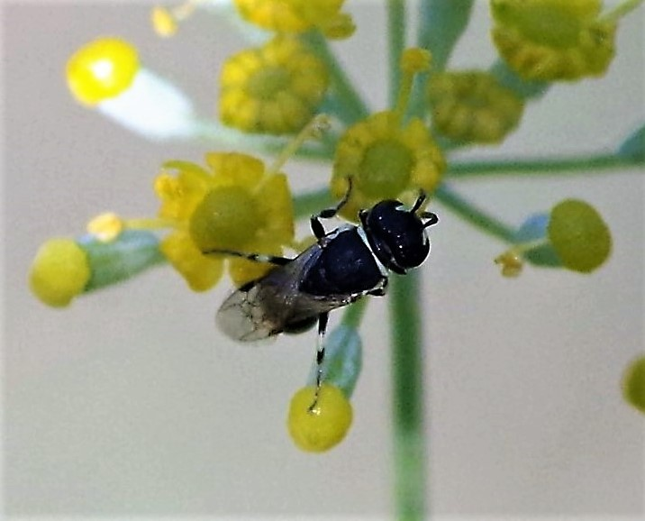 COLLETIDAE Hylaeus variegatus 1.JPG