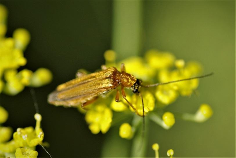OEDEMERIDAE Oedemera podagrariae 1 (oedemère ochracé femelle).JPG