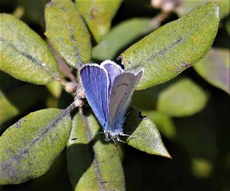 LYCAENIDAE Celastrina argiolus 1.JPG