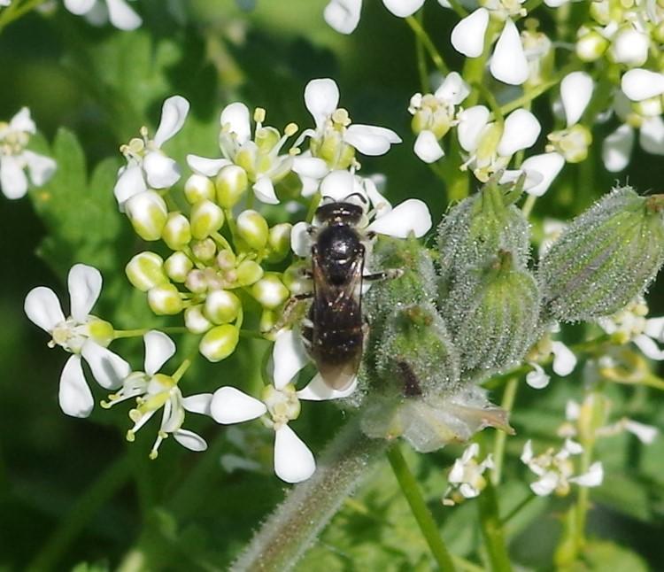 HALICTIDAE Lasioglossum albocinctum.JPG
