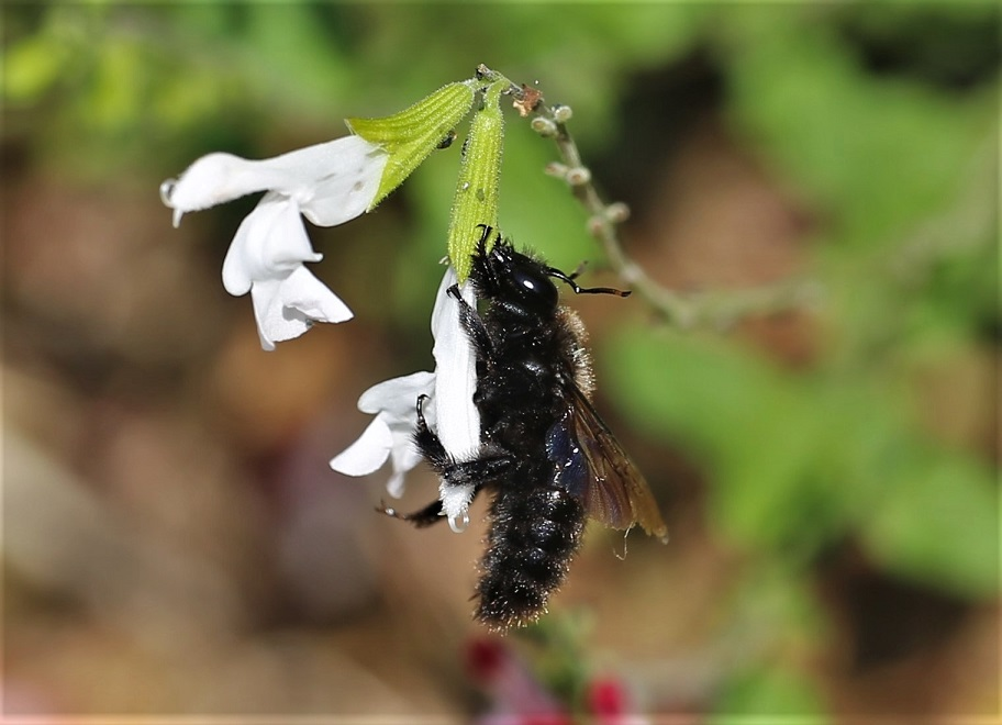 APIDAE Xylocopa violacea 2 (abeille charpentière).JPG