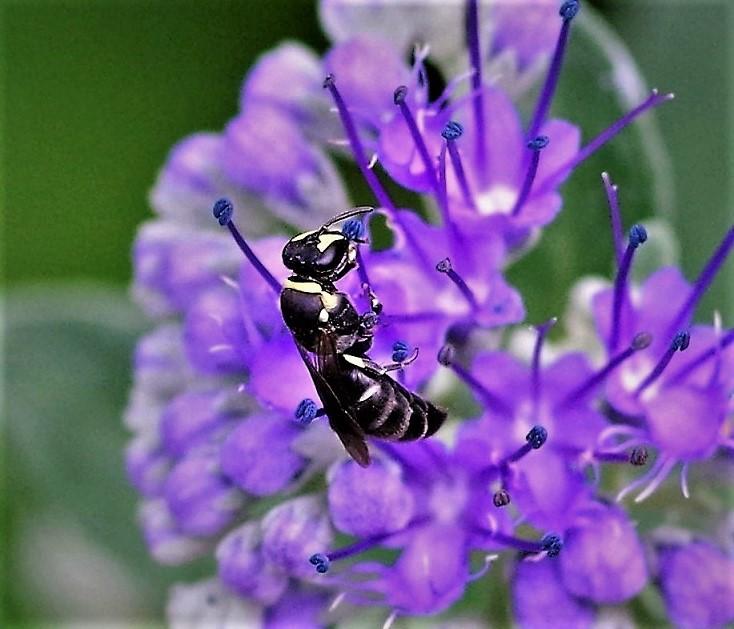 COLLETIDAE Hylaeus sp. 2.JPG