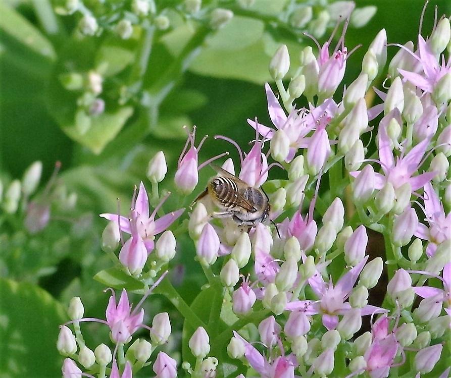 MEGACHILIDAE Megachile pilidens.JPG