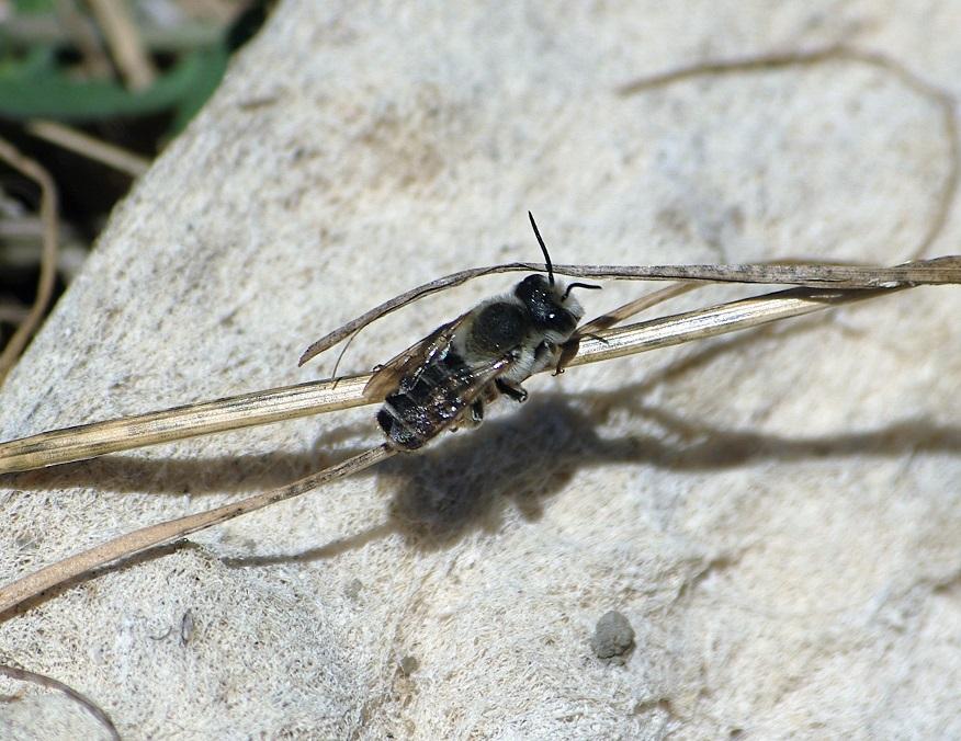 MEGACHILIDAE Megachile ericetorum.JPG