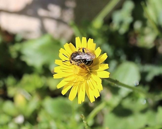 ANDRENIDAE Andrena flavipes 1.JPG