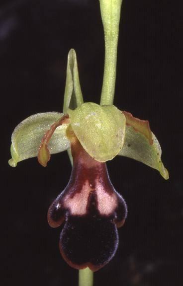 Ophrys algarvensis - Algarve (Portugal) - Ophrys de l'Algarve - 10/04/02