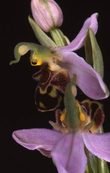 Ophrys apifera - Dasle (25) - Ophrys abeille - 29/05/00