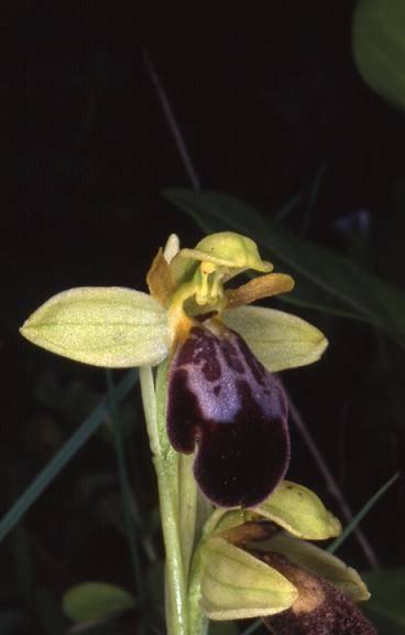 Ophrys fusca - Algarve (Portugal) - Ophrys brun - 2/04/02