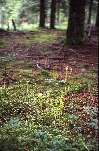 Corallorhiza trifida - Frasne (25) - Racine de corail ou Coraline - 25/05/02