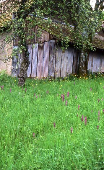 Orchis mascula - Evette Salbert (90) - Orchis mâle - 12/05/05