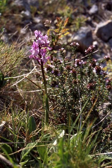 Orchis olbiensis - Mont Faron (83) - Orchis d'Hyères - 16/04/03