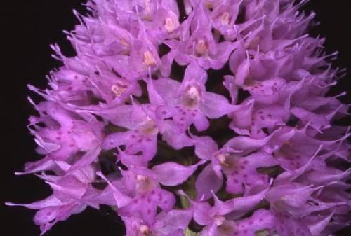 Traunsteinera globosa - La Roche Blanche (39) - Orchis globuleux - 30/05/00