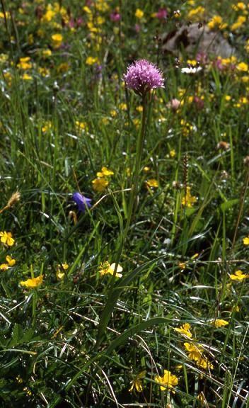 Traunsteinera globosa - Mont Rosset (73) - Orchis globuleux - 29/07/01