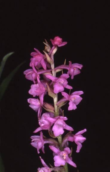 Gymnadenia odoratissima - La Devia (39) - Gymnadénie très odorante - 4/07/02