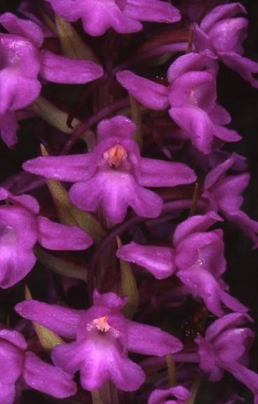 Gymnadenia conopsea var. densiflora - Bessoncourt (90) - 1/07/99