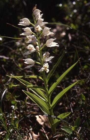 Cephalanthera longifolia - La Croix Valmer (83) - Céphalanthère à longues feuilles - 19/04/00
