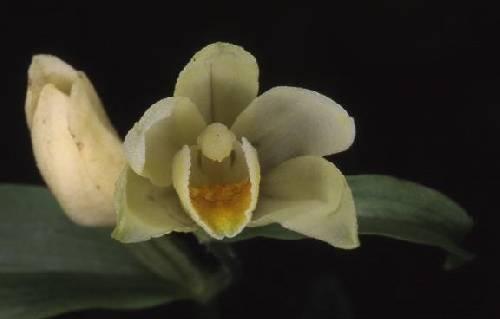 Cephalanthera damasonium - Beaucourt (90) - Céphalanthère pâle - 26/05/02