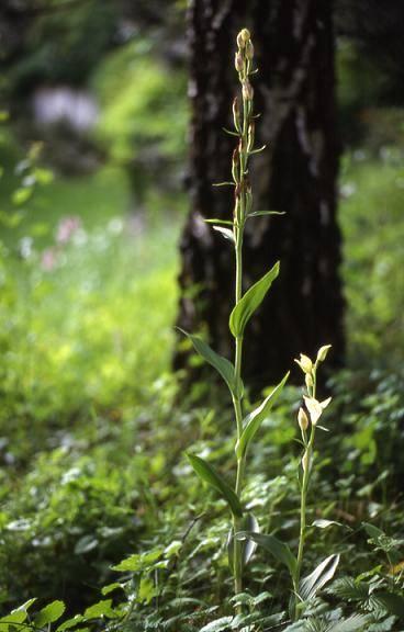 Cephalanthera damasonium - Beaucourt (90) - Céphalanthère pâle - 28/05/00