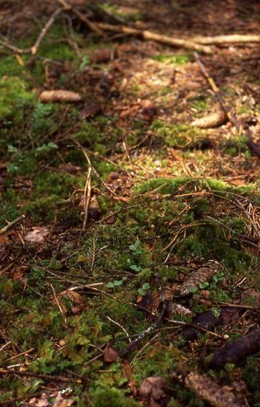 Listera cordata - Frasne (25) - Listère à feuilles en coeur - 25/05/02