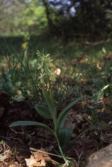 Orchis pallens - Osenbach (68) - Orchis pâle - 23/04/03