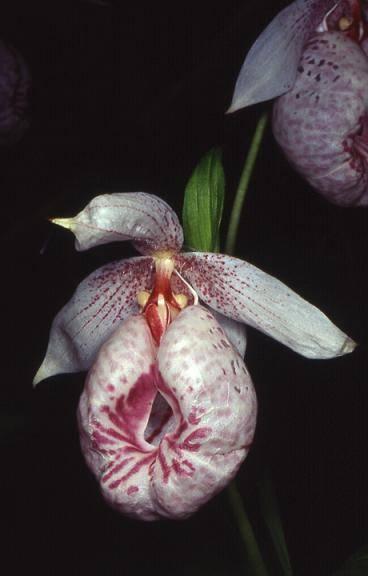 Cypripedium formosanum - cultivé - 31/03/01