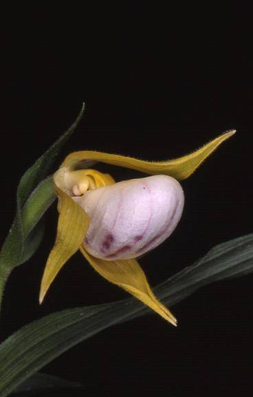 Cypripedium cordigerum - cultivé - 26/05/01