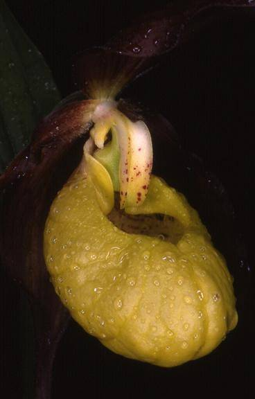 Cypripedium calceolus - environs de Saint-Claude (39) - Sabot de Vénus - 30/05/00