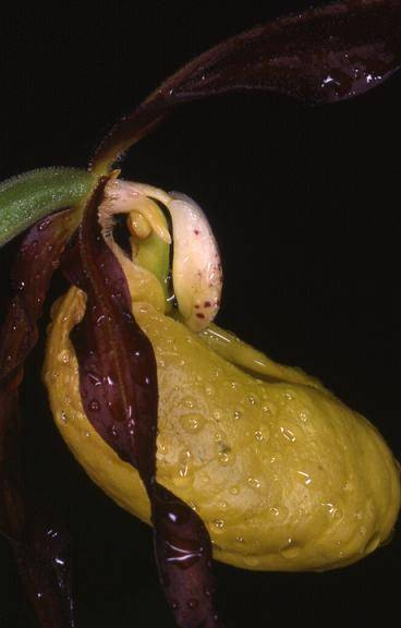 Cypripedium calceolus - environs de Saint-Claude (39) - Sabot de Vénus - 4/06/00