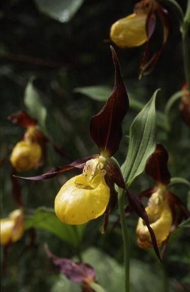 Cypripedium calceolus - environs de Saint-Claude (39) - Sabot de Vénus - 2/06/01