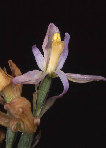 Limodorum trabutianum - Cavalaire (83) - Limodore de Trabut - 8/05/03