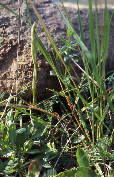 Limodorum trabutianum - Cavalaire (83) - Limodore de Trabut - 18/04/03