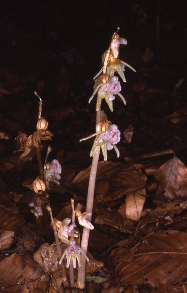 Epipogium aphyllum - Sallanches (74) - Epipogon sans feuilles - 25/07/01