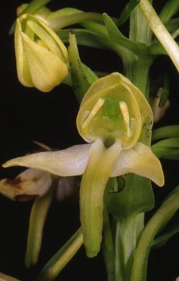 Platanthera chlorantha -  Riervescemont  (90) - Platanthère verte - 14/06/00
