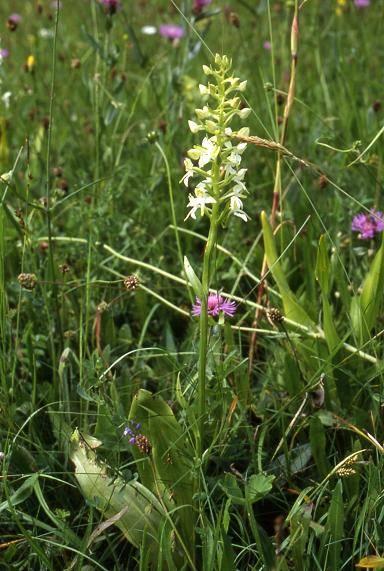 Platanthera chlorantha -  Riervescemont  (90) - Platanthère verte - 20/06/02