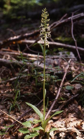 Platanthera bifolia - La Rixouse (39) - Platanthère à 2 feuilles - 4/06/00