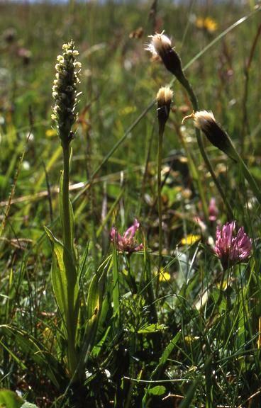Pseudorchis albida - Ballon d'Alsace (90) - Orchis miel, orchis blanc - 3/07/01