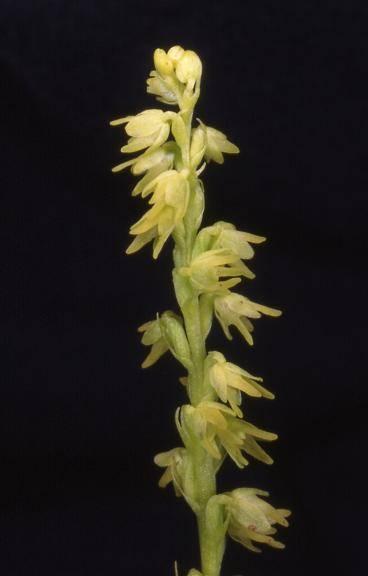 Herminium monorchis - Mambouhans (25) - Orchis musc - 13/06/00