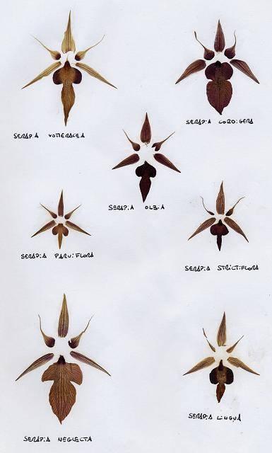 Serapias sp. : Eclatés de fleurs des espèces de sérapias de France continentale