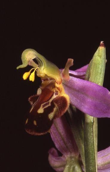Ophrys apifera var. aurita - Andelnans (90) - Ophrys abeille - ?/06/04