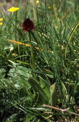 Nigritella sp. - Jardin botanique du Lautaret - 20/07/01