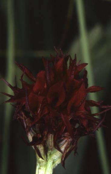 Nigritella austriaca - Risoux (39) - Nigritelle d'Autriche - 4/07/02