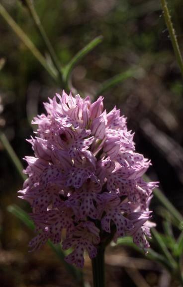 Orchis tridentata - Crussol (07) - Orchis tridenté (ou dentelé ou à trois dents) - 8/05/03