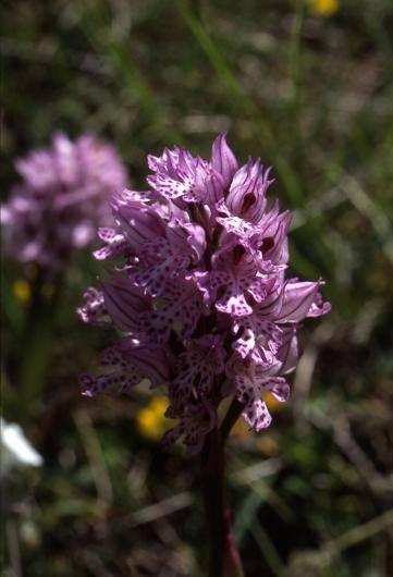 Orchis tridentata - Crussol - Orchis tridenté (ou dentelé ou à trois dents)